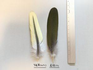 アオバトの下尾筒と尾羽