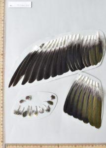アオバトの翼の再現