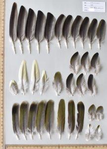 アオバトの初列風切、次列風切、尾羽、尾筒