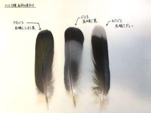 ハト3種の尾羽
