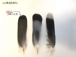 ハト3種の尾羽_アオバト