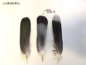 ハト3種の尾羽_ドバト