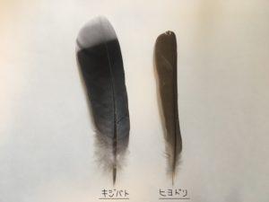 ヒヨドリとキジバトの尾羽比較