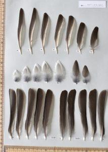 ヒヨドリの初列風切、次列風切、三列風切、尾羽、尾筒