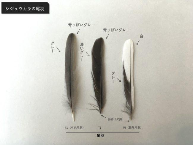 シジュウカラの尾羽