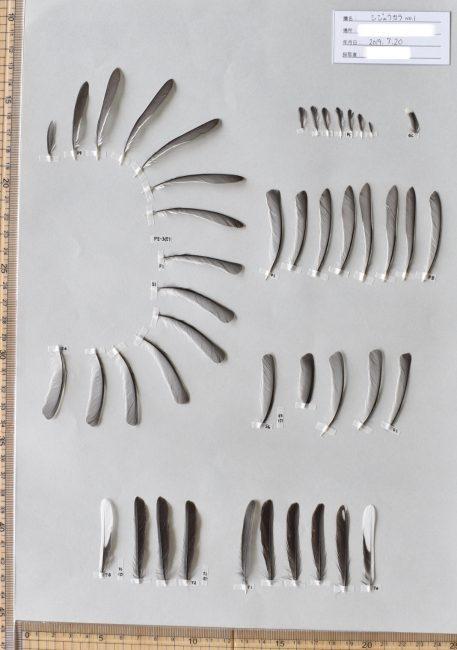 シジュウカラの羽標本