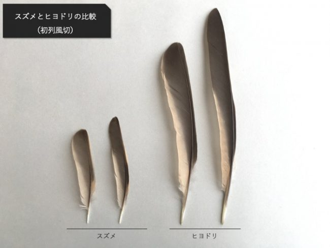 スズメとヒヨドリの風切の比較