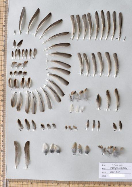 スズメの羽標本