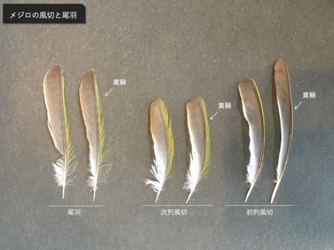 メジロの初列風切と次列風切と尾羽