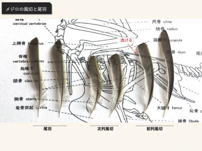 メジロの風切と尾羽は透ける