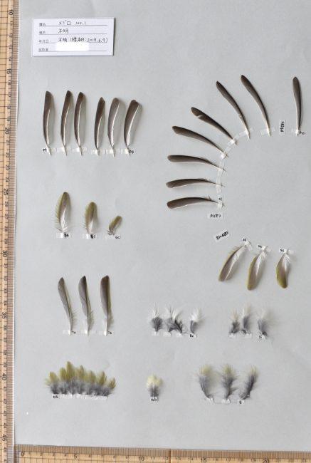 メジロの羽標本