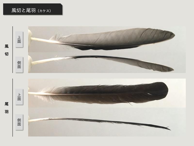 風切と尾羽の比較