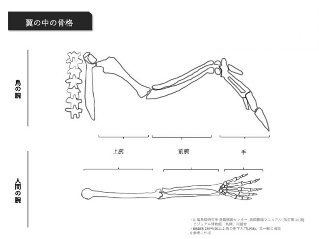鳥の骨格とヒトの骨格