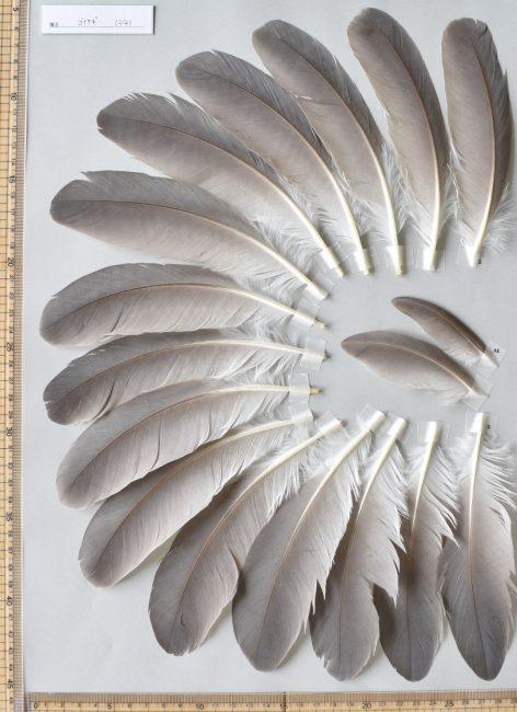 ゴイサギの次列風切、小翼羽