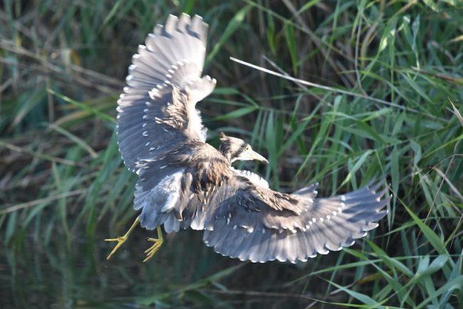 ホシゴイの飛翔
