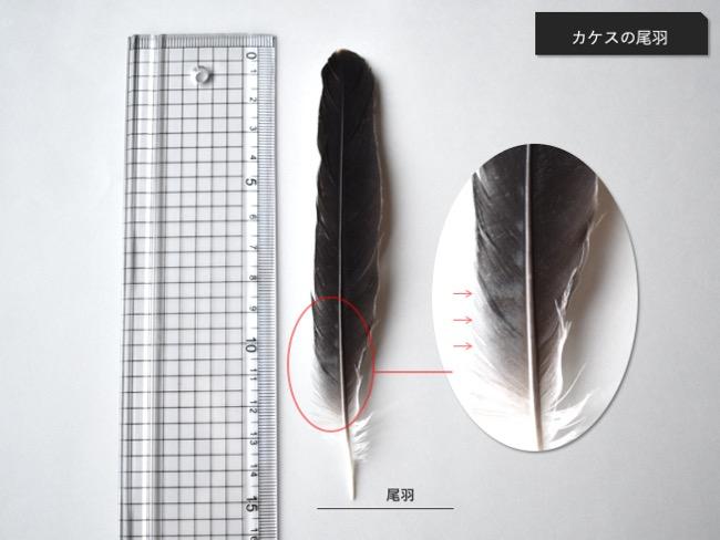 カケスの尾羽