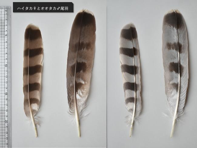 オオタカとハイタカの尾羽