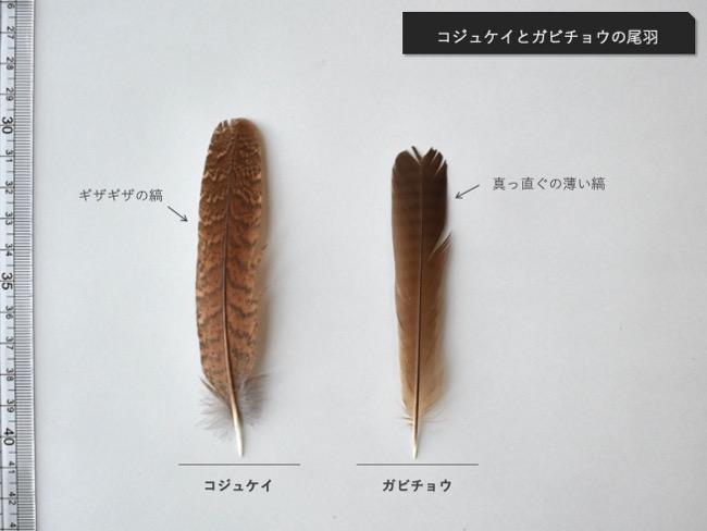 コジュケイとガビチョウの尾羽