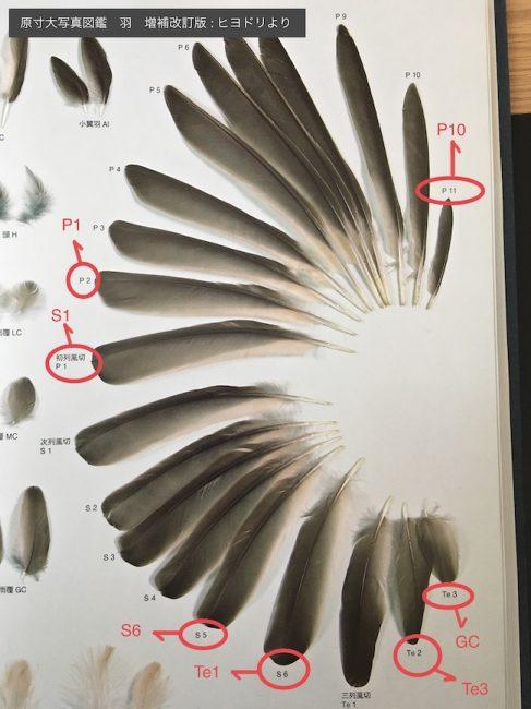 原寸大写真図鑑羽のヒヨドリに誤りがあると思われる