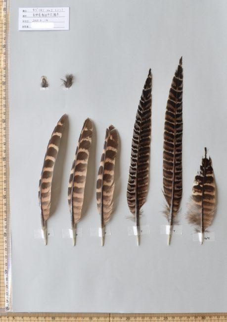 キジ(メス)の初列風切、尾羽、尾筒
