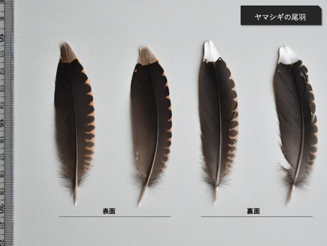 ヤマシギの尾羽