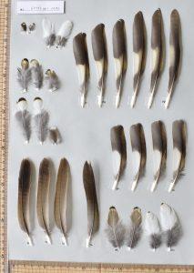 トラツグミの初列・次列風切、尾羽、尾筒