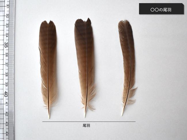 ガビチョウの尾羽