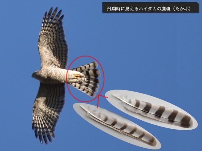 ハイタカの飛翔と尾羽