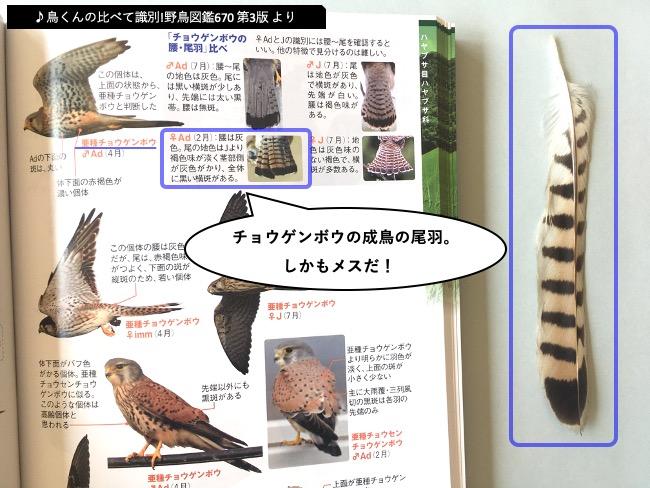 野鳥図鑑670でチョウゲンボウの尾羽を照合