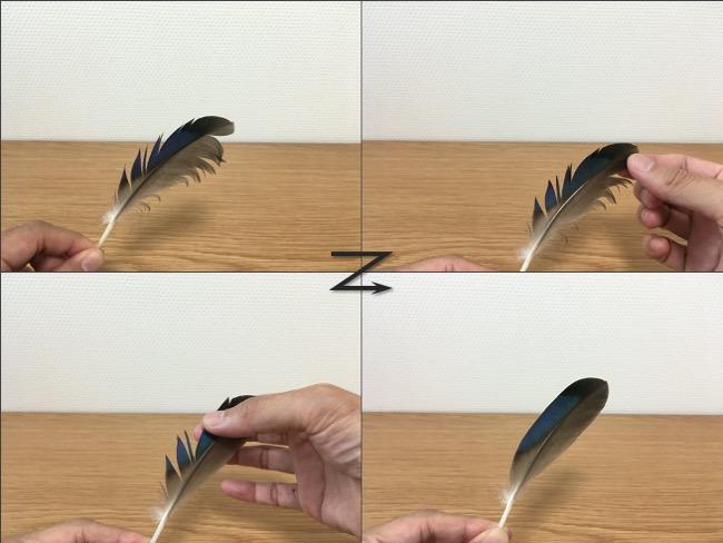 カルガモの羽を整える