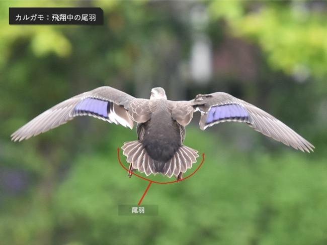 カルガモ_飛翔中の尾羽