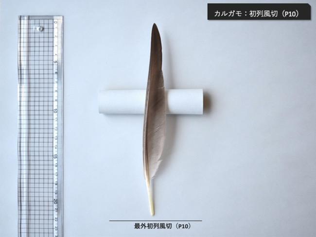 カルガモ_初列風切P10