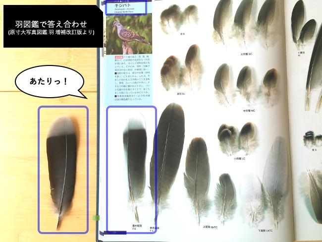 キジバトの羽を羽図鑑で照合