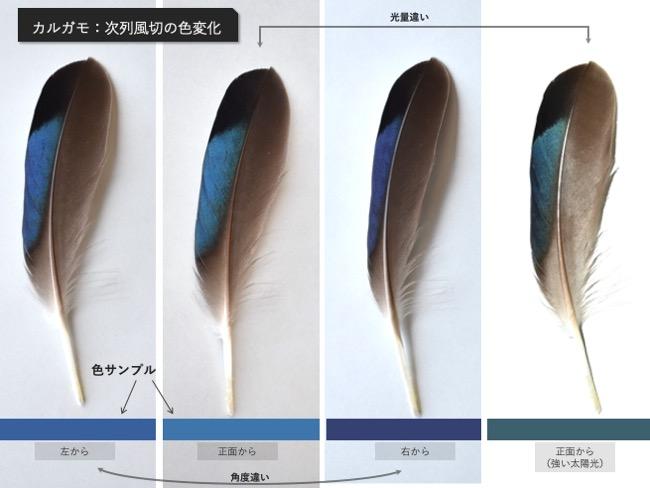 カルガモ_次列風切の色変化