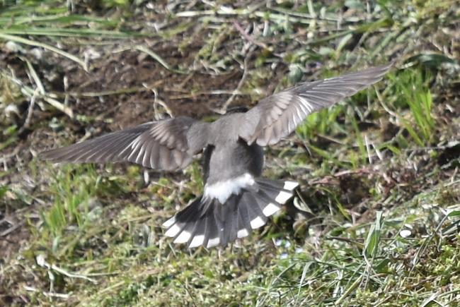 ムクドリ-尾羽