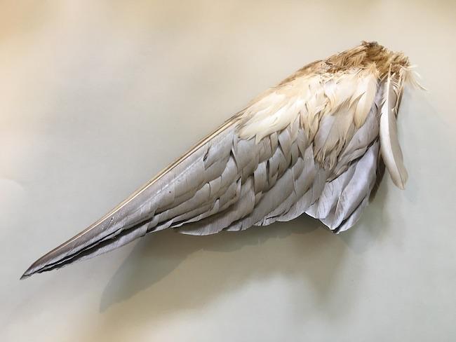 カルガモの翼