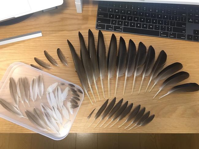カルガモの羽