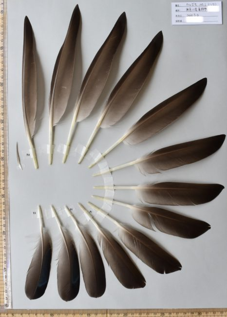 カルガモの羽標本