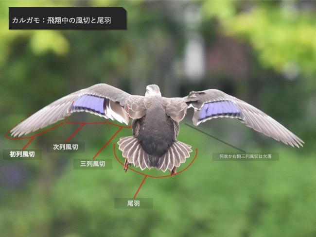 カルガモ_飛翔中の風切と尾羽