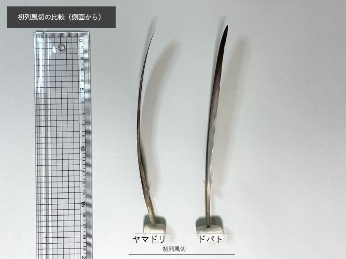 ヤマドリとドバトの初列風切比較