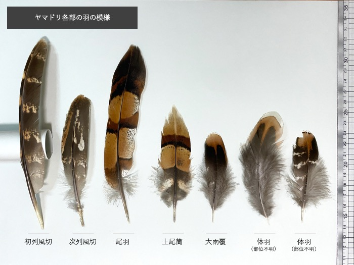 ヤマドリの各部の羽の模様