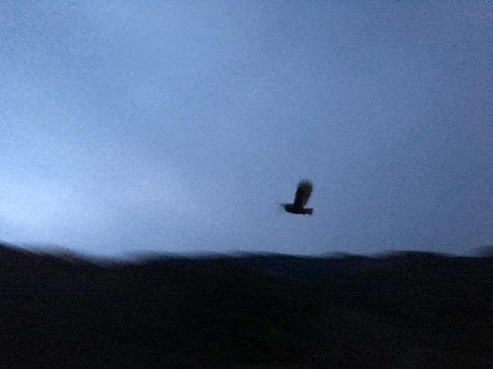 夕暮れ時に飛ぶフクロウ