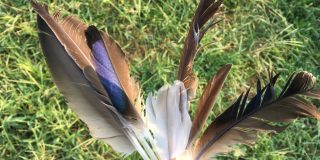 カルガモの羽-換羽拾得